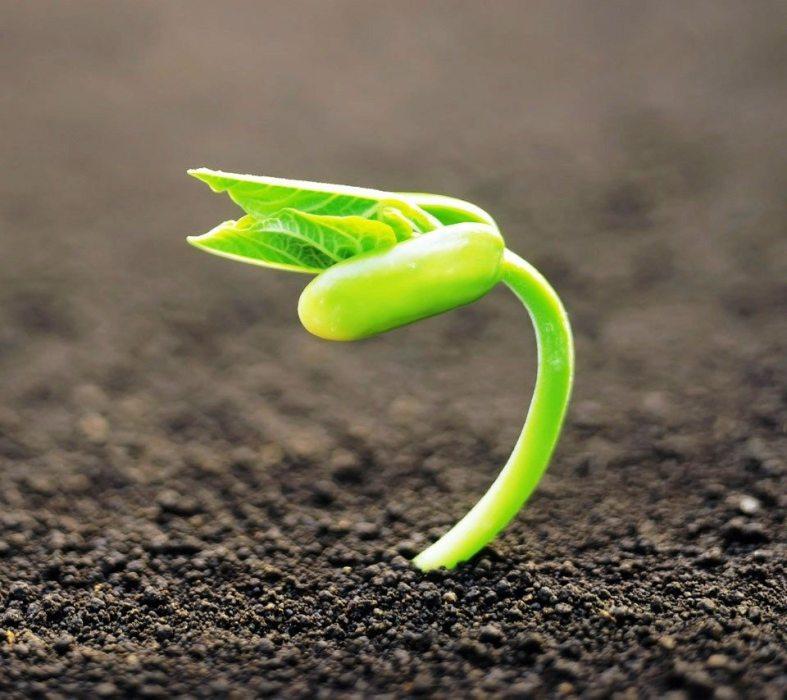 Germinating-seed